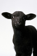 A domestic sheep black lamb (Ovis aries), photographed in studio. Portland, Oregon.