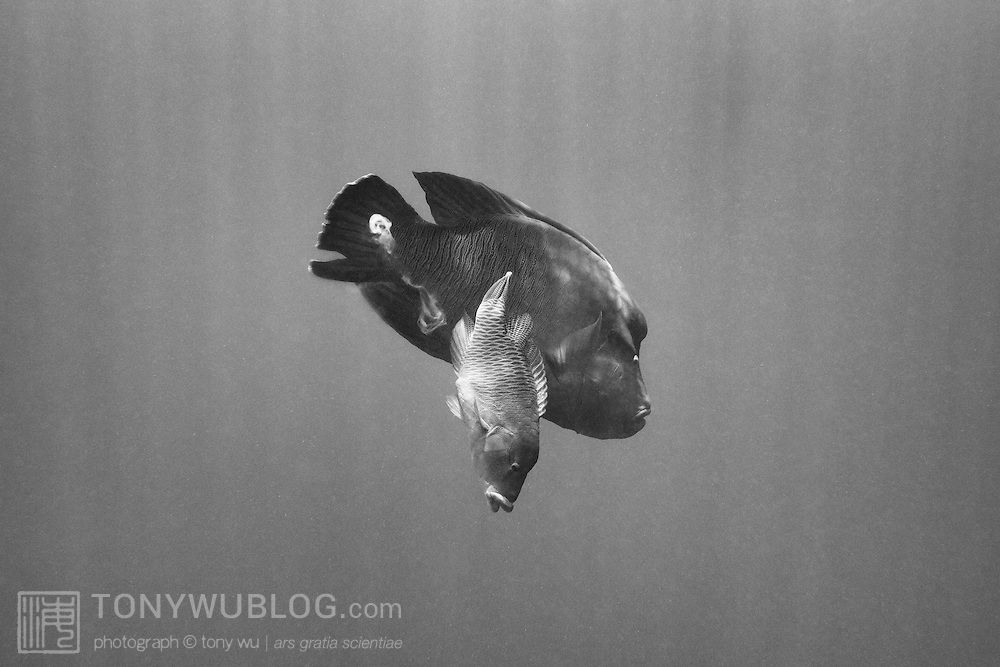 Napoleon wrasse (Cheilinus undulatus) spawning in Palau. The smaller female is in front, the male behind. Mature males spawn repeatedly with multiple females. This is photograph 2 of in a sequence of 5 images, with the entire sequence taking less than one second.