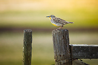I have been trying to find a meadowlark all through the spring a couple of weeks without much success.  I've seen a couple, but never managed to make any great images.  I was very excited to find this one happily singing away on a fencepost.  Their song is even more beautiful than the bird!<br /> <br /> ©2009, Sean Phillips<br /> http://www.Sean-Phillips.com