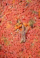 Ochre Sea Star - Carmel Pinnacles