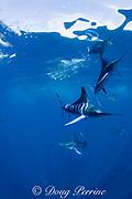 striped marlin, Kajikia audax (formerly Tetrapturus audax ), herding baitball of sardines, off Cabo San Lucas, Baja California, Mexico ( Eastern Pacific Ocean )