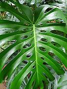 Monstera leaf, Lyon Arboretum, Manoa Vally, Honolulu, Hawaii