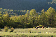 Cows grazing in field, Patagonia, Argentina, South America
