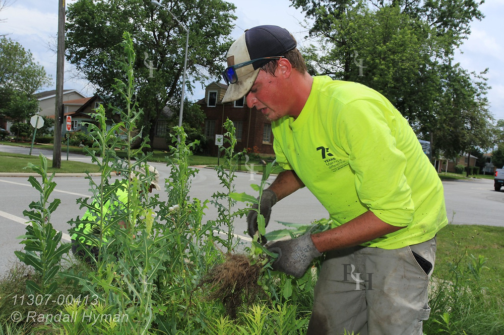 Cardno Ecological Restoration Tech Jacob Hall weeds rain garden in Chicago South Side neighborhood to help control stormwater runoff into Lake Michigan; Blue Island, Illinois.