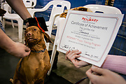 SHOT 1/27/05 11:26:19 AM - Tanner graduates from puppy training class at Petsmart. The Vizsla is a dog breed originating in Hungary, which belongs under the FCI group 7. The Hungarian or Magyar Vizsla are sporting dogs and loyal companions, in addition to being the smallest of the all-round pointer-retriever breeds. (Photo by Marc Piscotty / © 2005)