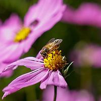 Ocoyoacac, México.- Una abeja poliniza las flores en un paraje de la cartetera México Toluca. Agencia MVT / Mario Vázquez de la Torre