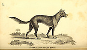 Dingo from General zoology, or, Systematic natural history Part I, by Shaw, George, 1751-1813; Stephens, James Francis, 1792-1853; Heath, Charles, 1785-1848, engraver; Griffith, Mrs., engraver; Chappelow. Copperplate Printed in London in 1800. Probably the artists never saw a live specimen