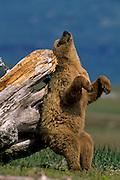 Alaska, Katmai National Park, Brown Bear scratching on log.