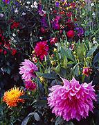 """Mom's Special"" pink dahlia, Dahlia pinnata x coccinea and ""Maggie C"" orange dahlia, Dahlia pinnata x coccinea, both from Connell's Dahlias and growing at Georgeson Botanical Garden, Universtity of Alaska Fairbanks Experimental Farm, Alaska."