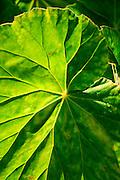 Luau leaf, Hilo, Island of Hawaii