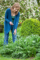 Staking oriental poppies in a border with link stakes.