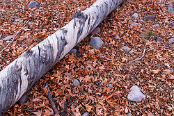 Tree and leaves on ground along Animas Creek, Ladder Ranch, west of Truth or Consequences, New Mexico, USA.