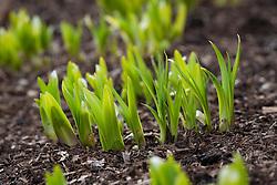 New shoots of emerging agapanthus foliage