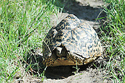 Africa, Kenya, Leopard tortoise (Geochelone pardalis)