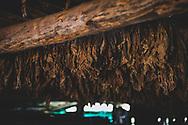 Tobacco hangs to dry inside a barn near Vinales, Cuba
