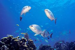 schooling Bermuda or yellow sea chub, Kyphosus sectatrix = sectator or incisor, Minnor Caves, Key Largo, Florida Keys National Marine Sanctuary, Atlantic Ocean