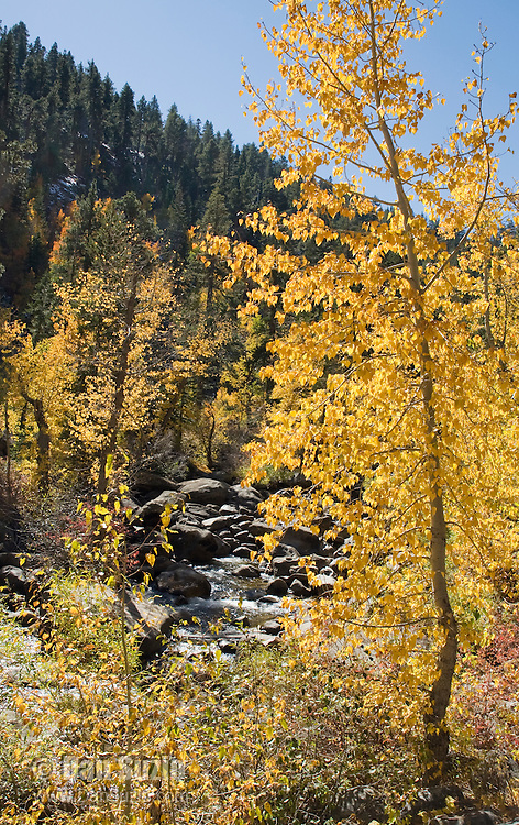 Black cottonwood, Populus balsamifera trichocarpa, along the west fork of the Carson River. Hope Valley, Sierra Nevada Mountains, California