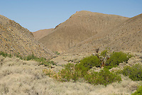 Honey mesquite, Prosopis glandulosa, at small spring in Wildrose Canyon, Death Valley National Park, California