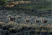 In the region of the Upper Green River Basin traditional ranch life is threatened by the oil and gas development. These scenes depict ranch environment along the Green River and surrounding areas. Many of these ranchers are planning to put their places into conservation easements to preserve the environment and lifestyle here and to protect agains oil and gas development. Mule deer.