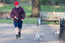 © Licensed to London News Pictures. 29/04/2021. London, UK. Prime Minister Boris Johnson's dog Dilyn attempts to chase pigeons as they exercise in Westminster.  Photo credit: George Cracknell Wright/LNP