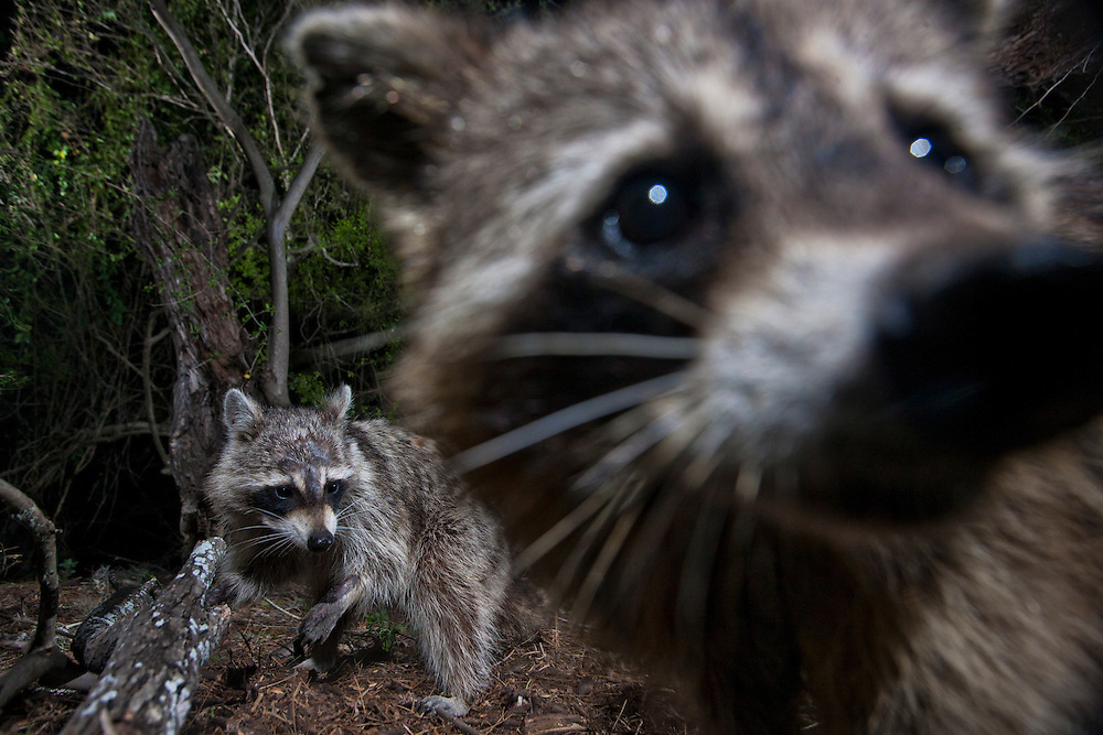 Two raccoons cause trouble in the forest during the night.