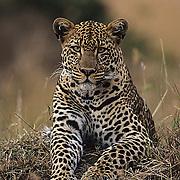 Leopard (Panthera pardus) portrait. Kenya. Africa