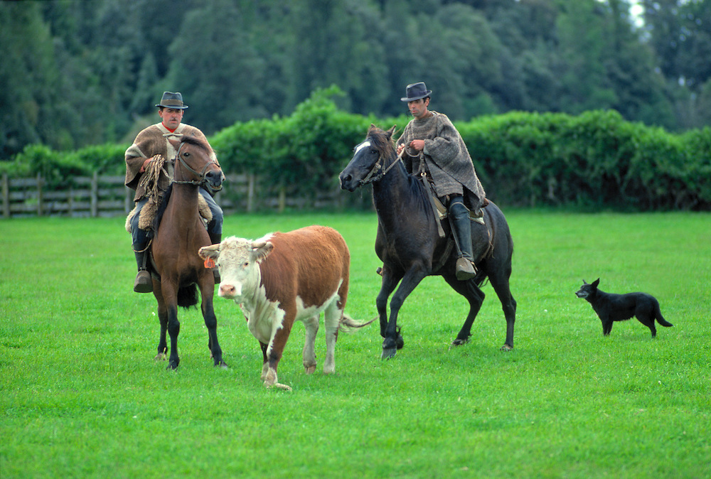 Huasos, or cowboys, herd cattle on a ranch near Puerto Varas in Chile