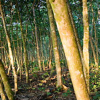 The sun setting low on the horizon brightens the forest in Manzanillo National Park, Costa Rica.