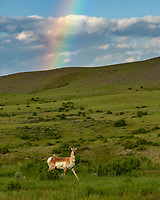 I found this pronghorn antelope standing under a rainbow while driving home. Wyoming has a higher population of antelope than it has people.