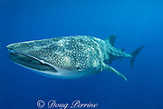 whale shark  ( Rhincodon typus ), Kona Coast, Hawaii Island ( the Big Island ), Hawaiian Islands, USA ( Central Pacific Ocean ) tail of remora or sharksucker ( Echeneis naucrates ) protruding from shark's spiracle (behind eye)