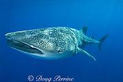 whale shark  ( Rhincodon typus ), Kona Coast, Hawaii Island ( the Big Island ), Hawaiian Islands, USA ( Central Pacific Ocean ) tail of remora or sharksucker ( Echeneis naucrates ) protruding from shark's spiracle (behind eye)