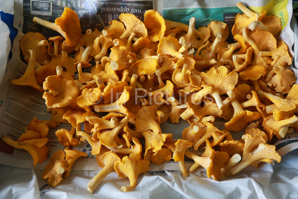Freshly picked Chanterelles lying spread out to dry, August 1st 2019, The Scottish Highlands, United Kingdom. Chanterelle mushrooms are in abundance in the right places in the Highlands. and August and September is high season.