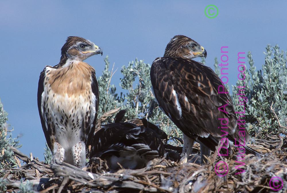 Juvenile ferruginous hawks on nest, fully grown and ready to fledge, © David A. Ponton