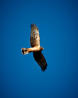 Hawk in flight. Late autumn monthly Sunday walk in the park. Hobler Park, Montgomery Township, New Jersey. Image taken with a Nikon 1 V3 camera and 70-300 mm VR lens.