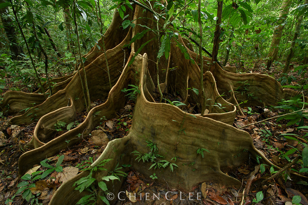 Bornean rainforest trees generally have relatively shallow root systems because moisture is abundant and nutrients are most available near the surface of the soil. Reinforcement of tree's stability is provided in some species by conspicuous root buttresses. Sarawak, Malaysia (Borneo).