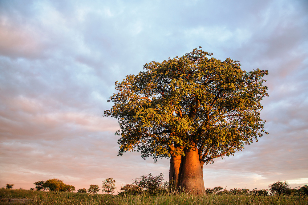 A baobab tree (Adansonia digital) under a cloudy sky during the wet season Kalahari, Botswana, Africa