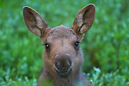 Moose Calf Portrait, this little girl must have spent hours in makeup before posing for me for our session in Yellowstone National Park.