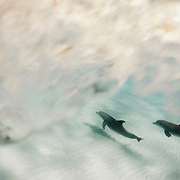 Bottle-nose dolphins search the sand flats off Abaco Island for razorfish, an easy meal.
