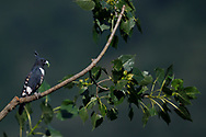 Black Baza, Aviceda leuphotes, sitting on a tree branch with green leaves with an insect it has caught, Guangshui, Hubei province, China