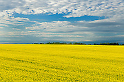 Canola and clouds<br />  near Jonquiere<br /> Quebec<br /> Canada