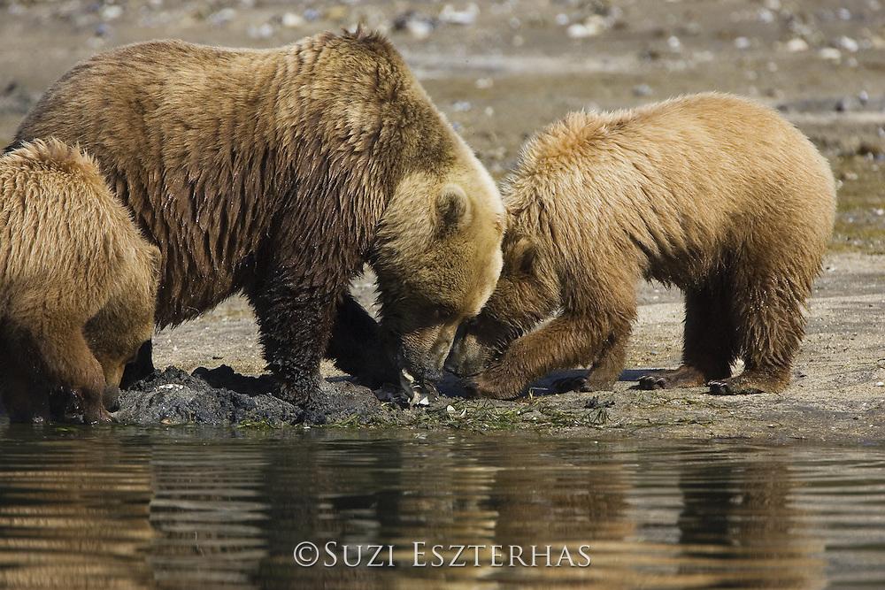 Alaskan Brown Bear<br /> Ursus arctos<br /> Mother and 1.5 year old cub digging for clams<br /> Katmai National Park, AK