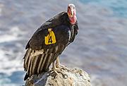 """California Condor #204 """"Amigo"""" on a cliff along Highway 1 on the Big Sur Coast, California"""
