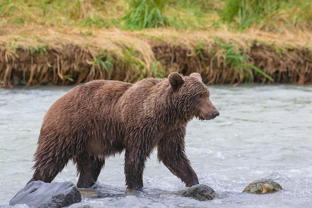 brown bear ~ Ursus arctos ~ adult ~ Katmai National Park ~ Alaska ~ www.adventurequestX.com