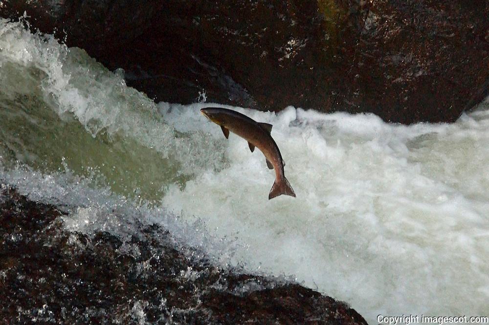 Salmon jump