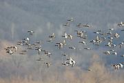 Canvasback ducks in flight