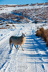 © Licensed to London News Pictures. 18/01/2015.  A ewe crosses a small road on the high moorland of the Mynydd Epynt.  Mid Wales woke to sub zero temperatures and a beautiful blue sky. Mynydd Epynt, Powys , Wales, UK. Photo credit: Graham M. Lawrence/LNP