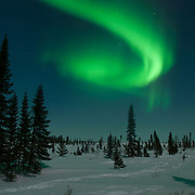Northern lights or aurora borealis, shine brightly over the black spruce trees in Wapusk National Park in temperatures of -46F. Canada