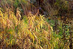 Euphorbia in autumn colour