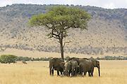 African Elephant<br /> Loxodonta africana<br /> Gathered under acacia tree for shade during midday heat<br /> Masai Mara Conservancy, Kenya