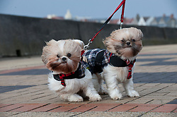 © London News Pictures. 08/02/2014. Porthcawl, Wales, UK.   Shih Tzu dog sisters Adie and Ellie from Bridgend, Wales, look windswept as they get caught in strong winds in Porthcawl. A storm is due to batter the west coast of the UK adding to damage and floods already caused by previous bad weather. Photo credit : Graham M. Lawrence/LNP.